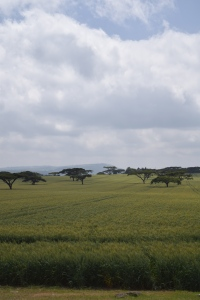 Wheat and acacia trees in the Great Rift Valley