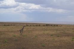 Baby Giraffe Running to Mama