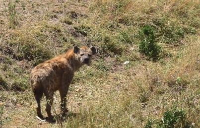 a Serious Hyena