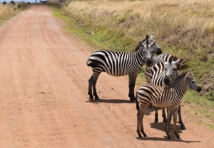 All the world's zebras are probably located in Masai Mara